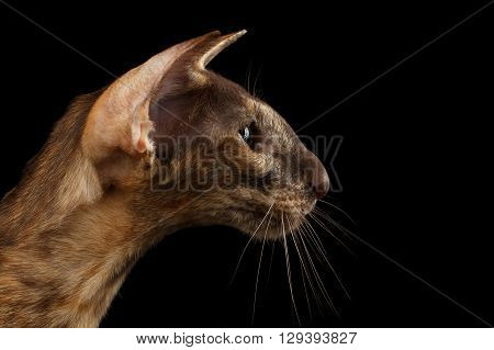 Closeup Brown Oriental Cat With Extremal Big Ears in Profile view Black Isolated Background