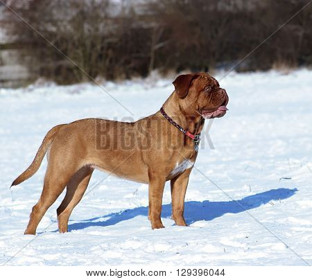 Big Dog - Dogue De Bordeaux In Winter On Snow