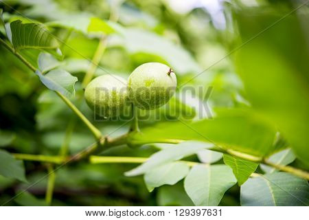 Green walnut growing on a tree close up