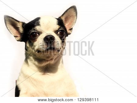 Shorthaired Chihuahua - Portrait Head Isolated On White Background