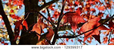 Close up of autumn red Maple leaves