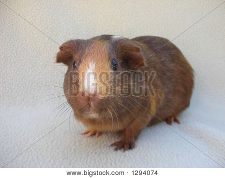 Guinea Pig Focus On Face