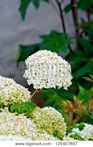 Hydrangea White With Leaves