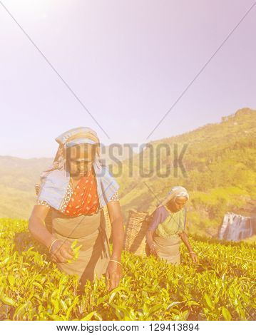 Two Tea Pickers Picking Leaves Concept