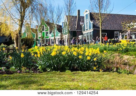 Zaanse schans, Netherlands - April 1, 2016: Zaanse Schans village, Holland, green houses, people, focus on yellow daffodil flowers