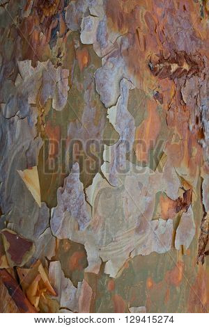 brown texture of bark pine felled in the forest