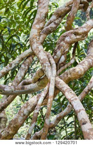 liana in jungle creeping plant, background .