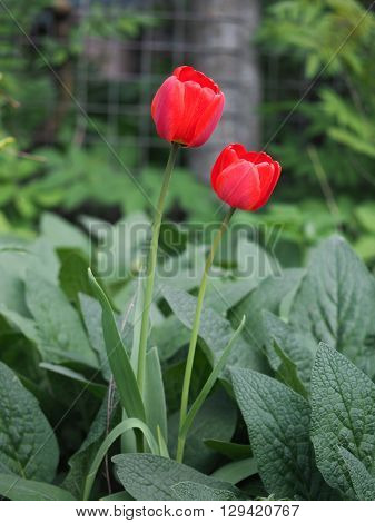 Two bright red tulips in the green grass in the garden area. Flowers on high stems
