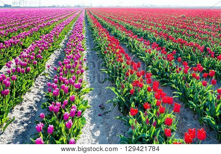 Backlit image of flower beds with red and pink blooming tulips and translucent green leaves in a Dutch bulbs nursery. It's early in the morning on a sunny day in the spring season.