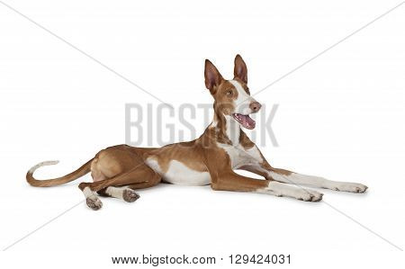 Purebred Ibizan Hound (Podenco ibicenco) dog lying in front of white background