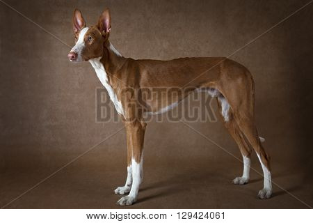 Purebred Podenco ibicenco dog standing in front of brown background