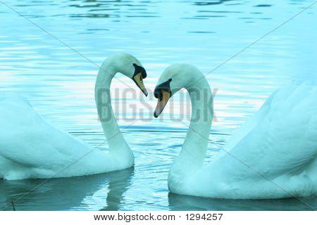 Swimming Swan'S