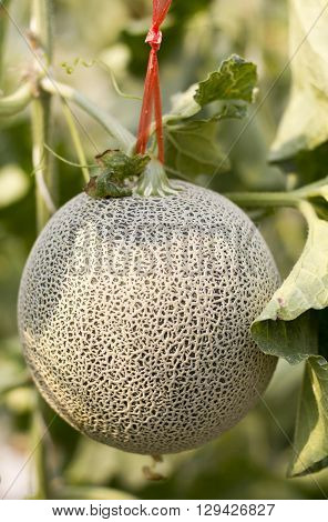 melon from Japan green melon Cantaloupe melons growing in a greenhouse supported by string melon nets