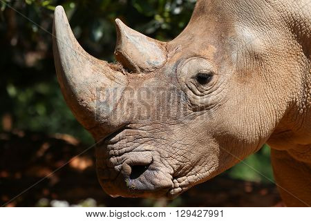 brown rhinoceros head with giant horn side