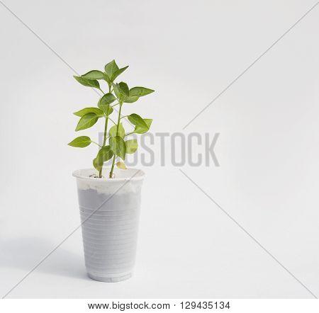 seedlings of paprika,growing pepper seedlings in white cups