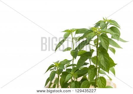 growing sweet peppers,paprica peppers in the pot