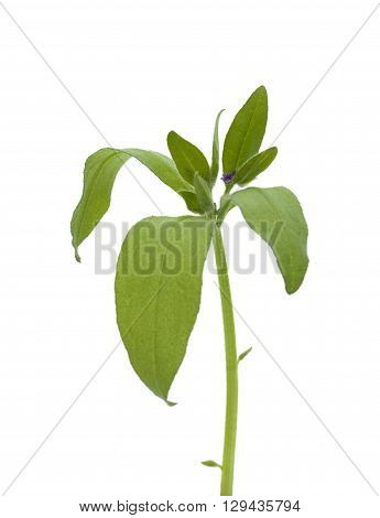 green medicinal plant on white background isolated