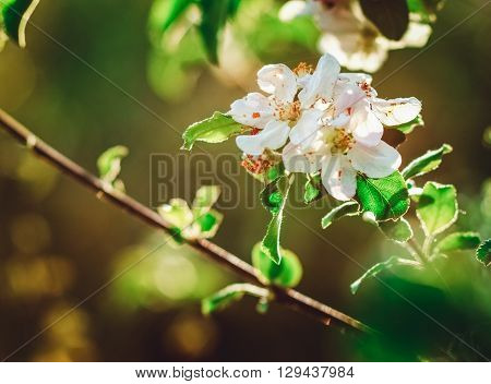 Flowerage of a Cherry Tree with White Flowers on the Branch Spring Nature,Summer,Relax Vacation,Background