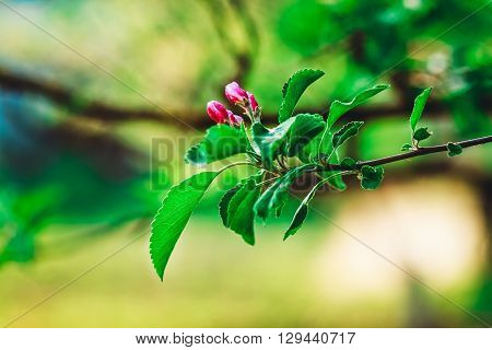 Flowerage of a Cherry Tree with Purple Flowers,Spring and Summer,Nature Background