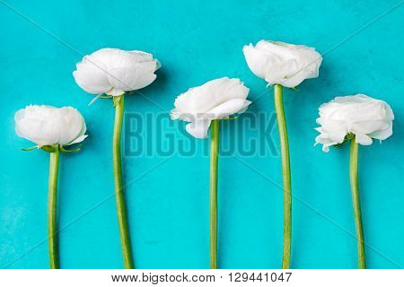 White ranunculus flowers Blue background Copy space
