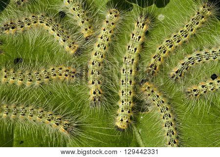 Pest moth fall webworm Hyphantria cunea on leaf