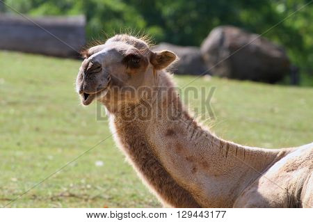 Bactrian Camel-Camelus Ferus, Bactrianus / Bactrian Camel Poses for the Camera