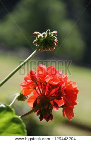 Overhanging Red Geranium / Red Geranium Flower