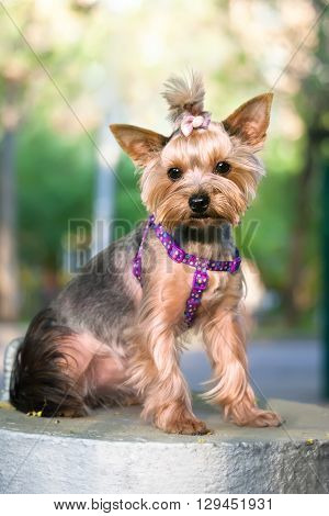 Beautiful Yorkshire Terrier Dog outdoor. Looks in camera with curiosity