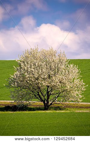 Spring Flowering Tree In Countryside