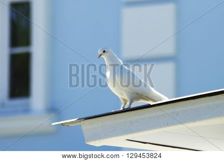 White dove on the roof old building