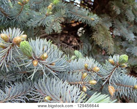 young branches of a blue spruce with young buds on blurred background