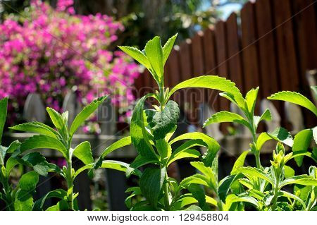 The herb Stevia from low angle growing in home garden in Bonita Springs Naples Florida stevia is used as a sugar substitute.