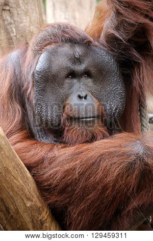 A male Orangutan is sitting in a tree