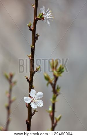 Blossoming apricot flowers on twigs