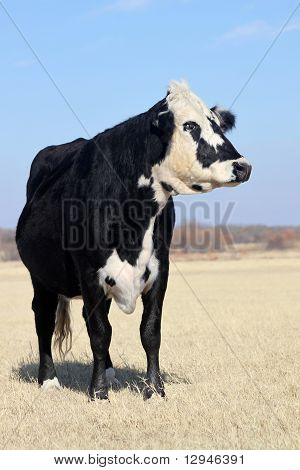Black Whitefaced Cow