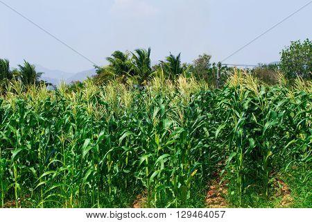 Corn field in Thailand nature background in rural