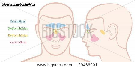 Paranasal sinuses on a male face in different colors - GERMAN TEXT! Isolated vector illustration over white.