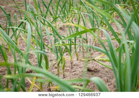 Garlic plants in raised bed irrigated vegetable garden
