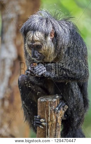 A white faced saki is sitting in a tree