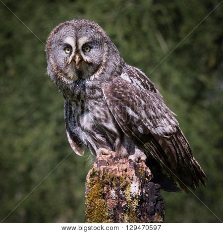 A great grey owl perched on a post and looking straight at the camera in square format