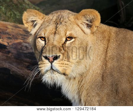 Portrait of a Lioness with a fallen tree in the background