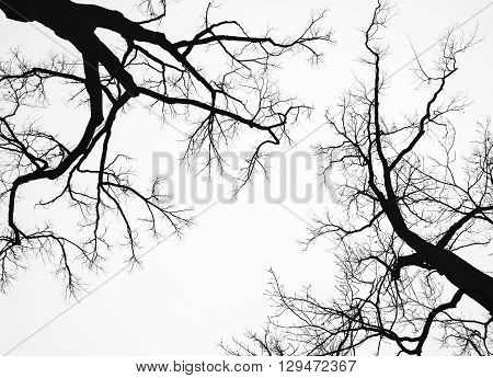 Old Leafless Bare Trees Isolated On White Sky
