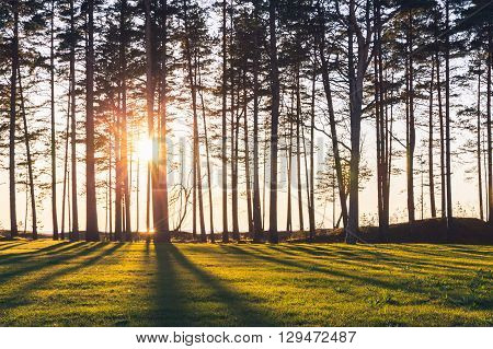 Sun Is Shining Trough Pine Trees On Sea Coast