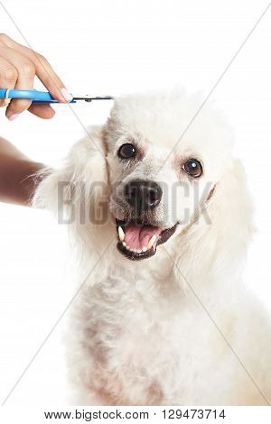 White Poodle In Barber Shop