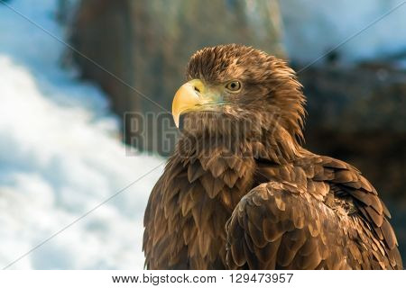brown eagle on a background of winter nature
