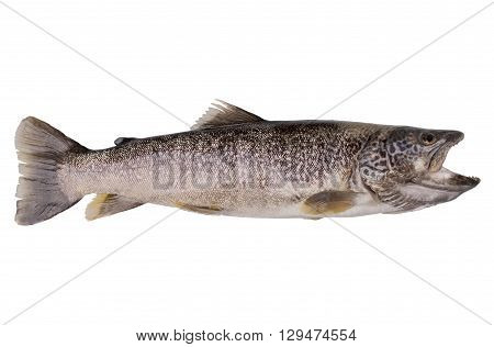 Very high resolution picture of a marble trout isolated over white