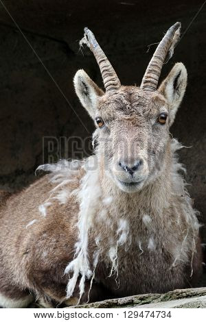 A Moulting Alpine ibex with a dark background