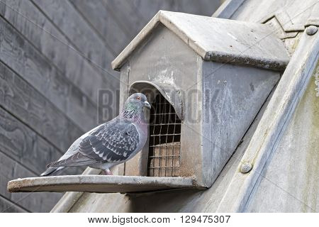 Cute pigeon bird in fromt of an old dovecote