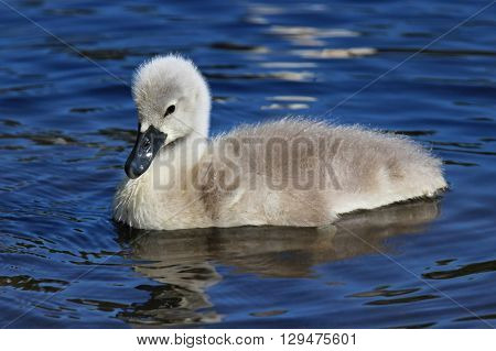 A mute swan cygnet swimming on a pond.