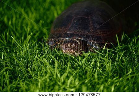 turtle crawling on the grass
